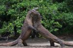 komodo_dragon_fight